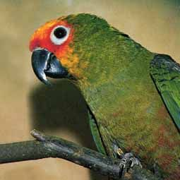 Golden-capped Conure